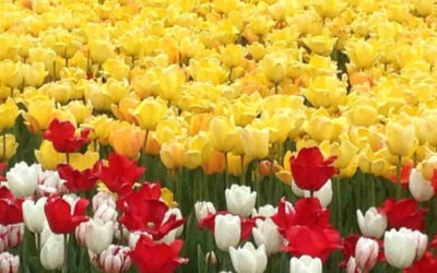 Tulips are Forever in Ottawa