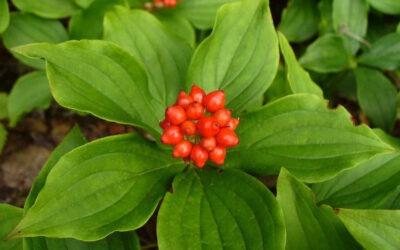 Cornus Canadensis (Canadian Bunchberry) in a Nutshell