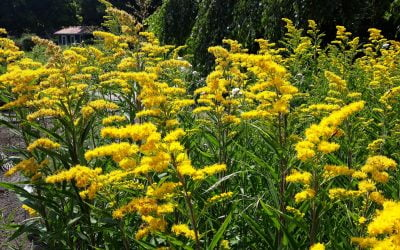Canada Goldenrod: Much Maligned and Misjudged
